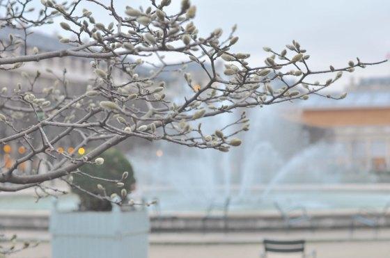 Magnoliatræ i Palais Royal 2