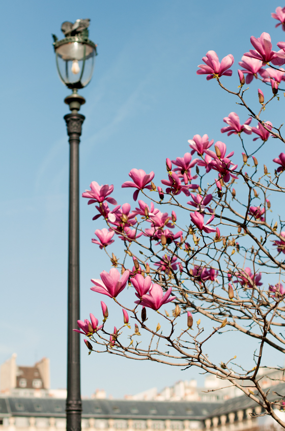 Magnoliatræ-Palais Royal